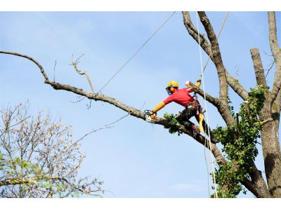 Tree Pruning in Venice, Florida